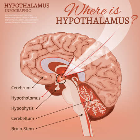 Hypothalamus Vector Image Illustration