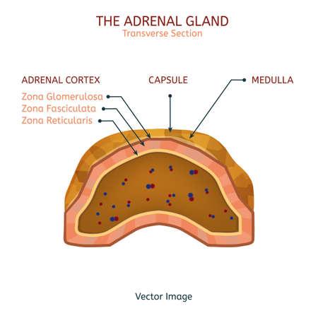adrenal: Adrenal Gland Image