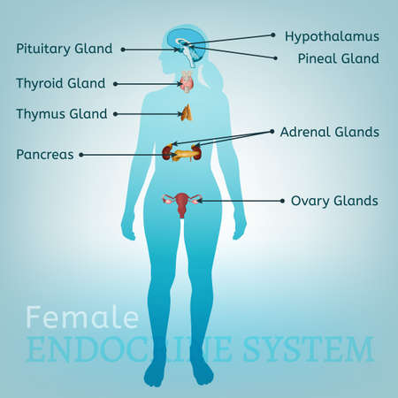 Endocrine System Woman Archivio Fotografico