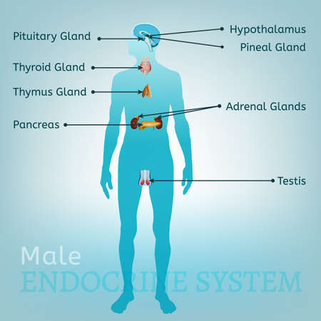 medical drawing: Male endocrine system. Human anatomy. Human silhouette with detailed internal organs. vector illustration isolated on a light blue background.