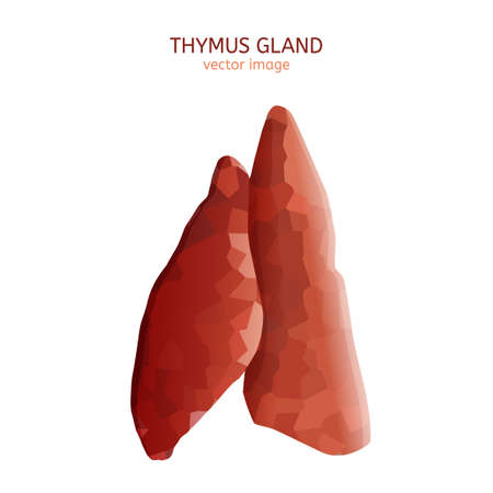 Thymus gland image. Vector illustration isolated on a white background. 向量圖像