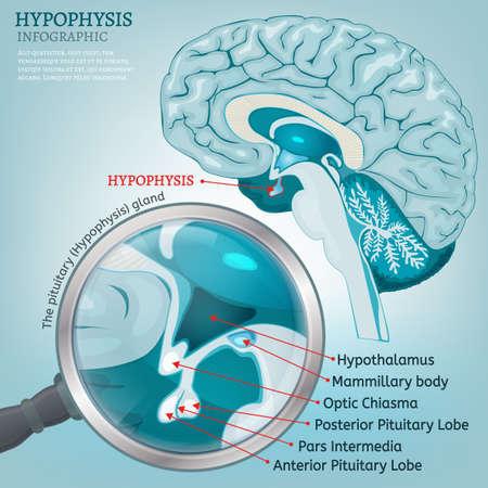 Glándula Pituitaria Y El Quiasma óptico Ilustraciones Vectoriales ...