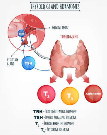 Schildklierhormonen vector afbeelding. Menselijk endocrien systeem. Anatomische infographic.