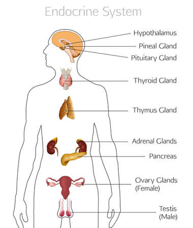 Male endocrine system. Human anatomy. Human silhouette with detailed internal organs. vector illustration isolated on a white background. Çizim