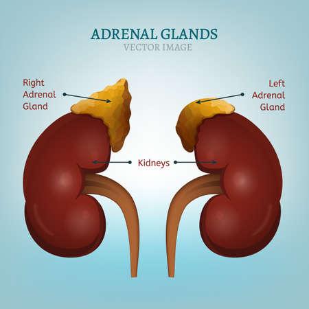 Menselijke nieren en bijnier afbeelding. Gezondheidszorg, anatomische en medische vectorillustratie geïsoleerd op een lichtblauwe achtergrond. Stock Illustratie