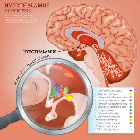 Hypothalamus infographic image. Detailed anatomy of the human brain cross section. Vector illustration in bright colours on a light pink background. Illustration