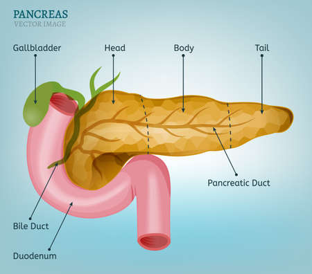 Pancreas and duodenum image on a light blue background. Medical vector illustration of the internal organs. Illustration