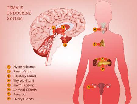 内分泌系女性  イラスト・ベクター素材