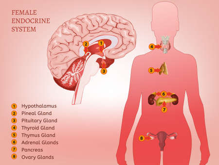 Endocriene System Woman Stock Illustratie