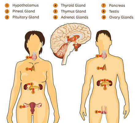 Endokrine Systembild Vektorgrafik