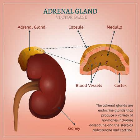 Adrenal Gland Image