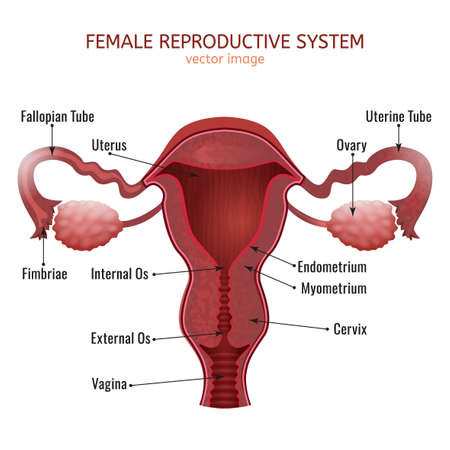 Female reproductive system vector illustration.