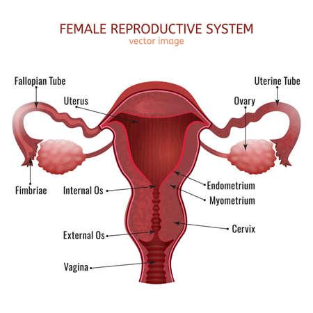 Ilustración vectorial sistema reproductivo femenina . Foto de archivo - 84790275