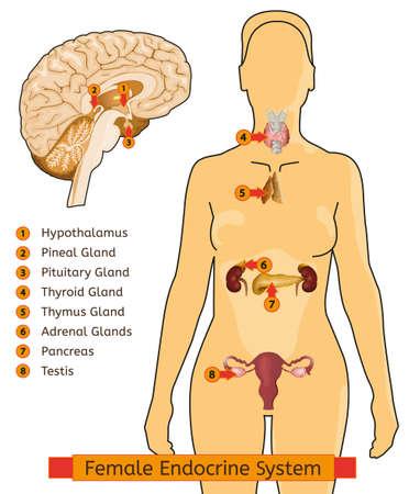 Endocrine System Woman Illustration