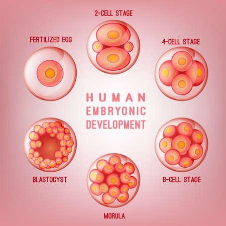 Embryo Ontwikkelingsbeeld Stock Illustratie