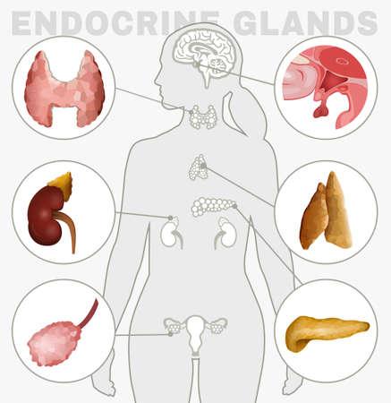 腺内分泌画像  イラスト・ベクター素材