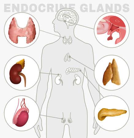 Image des glandes endocrines
