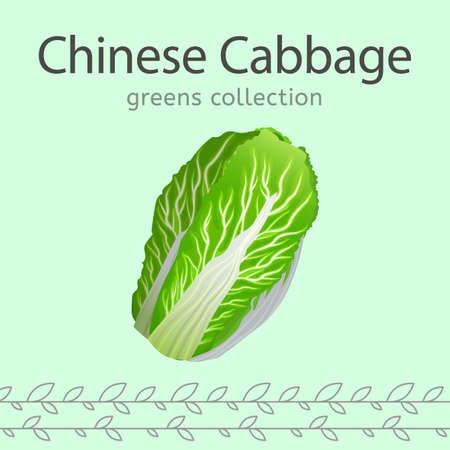 Chinese Cabbage. Illusztráció
