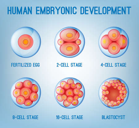 Embryo Development Image 矢量图像