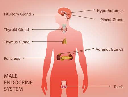 Männliches endokrines System. Menschliche Anatomie. Menschliche Silhouette mit detaillierten inneren Organen. Vektor-Illustration isoliert auf einem hellrosa Hintergrund.