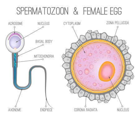 Female egg structure Healthcare and biology concept illustration design template.