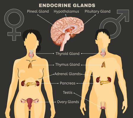 Ilustración de diseño comparativo de sistema endocrino femenino y masculino.