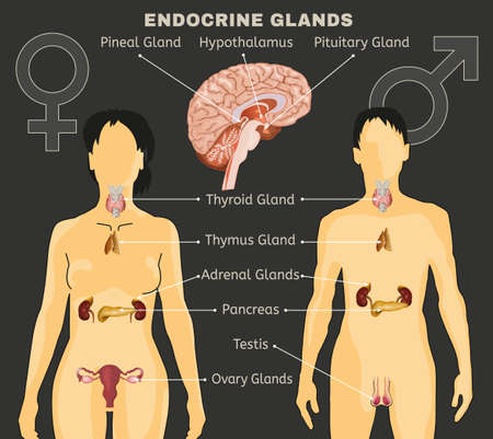 Female and Male endocrine system comparative design illustration.