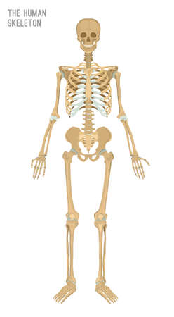 Human skeleton image. Vector illustration isolated on a white background useful for creating medical and scientific materials. Anatomy, medicine and biology concept. Vectores