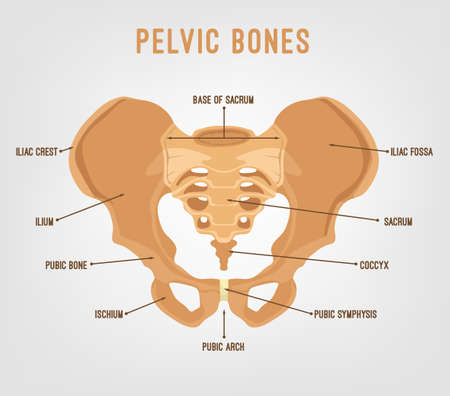 Human male anatomy scheme. Main pelvic bones vector illustration isolated on a white background. Иллюстрация