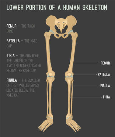 Human leg bones image. Vector illustration isolated on a dark grey background useful for creating medical and scientific materials. Anatomy, medicine and biology concept. Banque d'images - 91374985