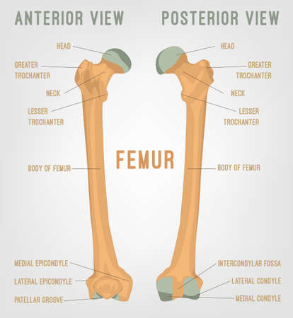 Human femur bones image. Vector illustration isolated on a white background useful for creating medical and scientific materials. Anatomy, medicine and biology concept. Ilustração