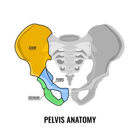 Menselijke bekken anatomie regeling illustratie geïsoleerd op een witte achtergrond.