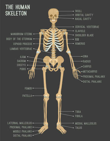 Human skeleton image. Vector illustration isolated on a dark grey background useful for creating medical and scientific materials. Anatomy, medicine and biology concept.