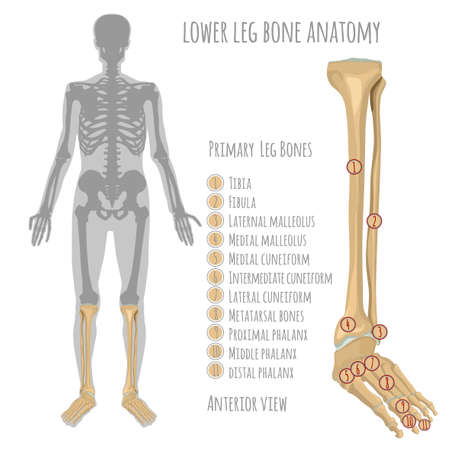 Lower leg bone anatomy. Anterior view with primary bones names. Vector illustration with human skeleton scheme isolated on a white background. Illustration
