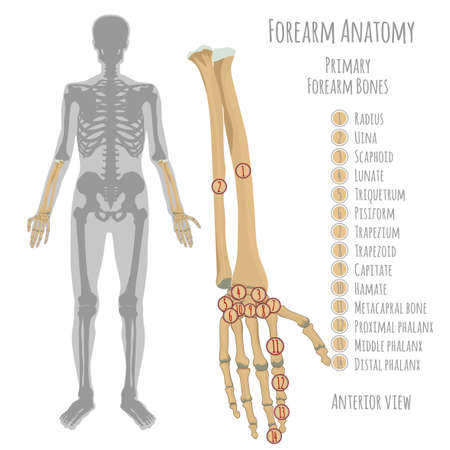 Male Forearm Bone Anatomy. Anterior View With Primary Bones ...