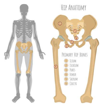 Ilustracja męskiej kości biodrowej.