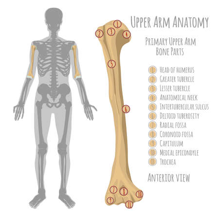 Male upper arm bone illustration. Illustration