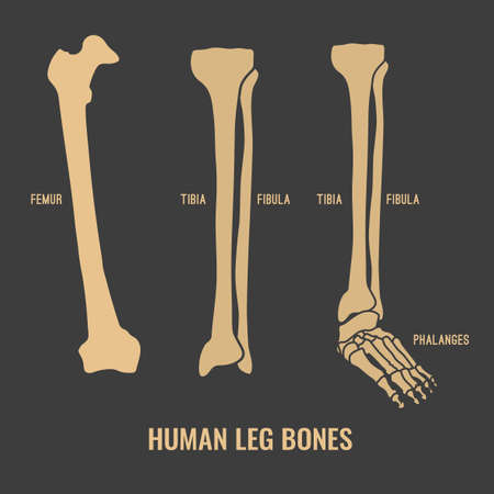 Human leg bones icons. Chest image in a flat style. Vector illustration in beige colour isolated on a dark grey background.