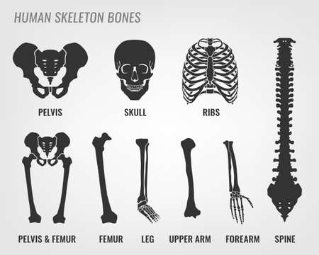 Human skeleton bones. Vector illustration in flat style with bones names isolated on a light grey background.