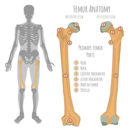 Anatomía del hueso de la cadera masculina. Vista anterior y posterior con nombres de huesos primarios. Vector el ejemplo con el esquema esquelético humano aislado en un fondo blanco. Ilustración de vector
