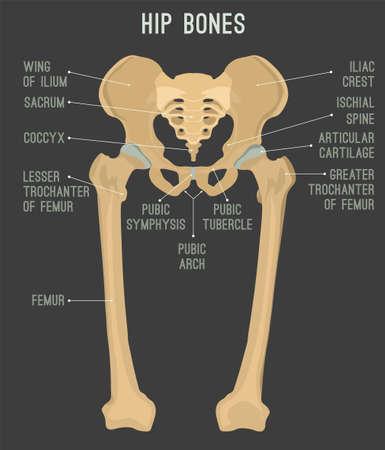 Human male anatomy scheme. Main hip bones - sacrum, ilium, coccyx, pubis, ischium and femur. Detailed vector illustration isolated on a dark grey background.