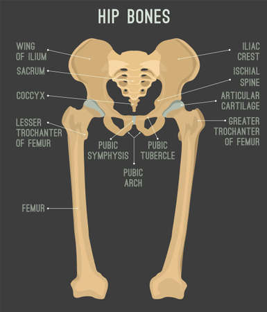 Human male anatomy scheme. Main hip bones - sacrum, ilium, coccyx, pubis, ischium and femur. Detailed vector illustration isolated on a dark grey background.