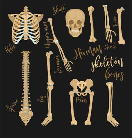 Human bones images. Medical set in realistic style. Vector illustration in beige color isolated on a dark grey background.
