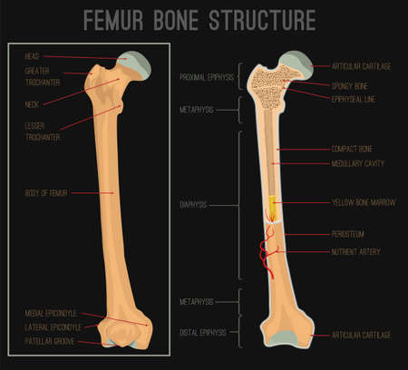 Femur bone structure. Human health concept useful for medical, anatomy and biology educational poster design. Vector illustration with detailed information isolated on a black background.
