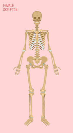 Female skeleton image. Vector illustration isolated on a pink background useful for creating medical and scientific materials. Anatomy, medicine and biology concept.