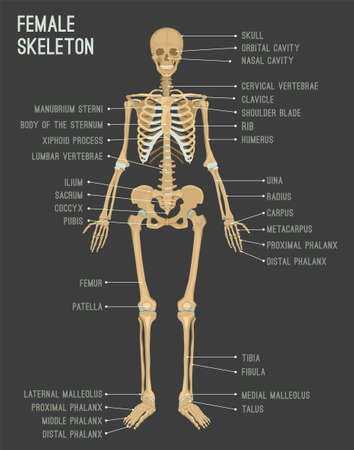 Female skeleton image. Vector illustration isolated on a dark grey background useful for creating medical and scientific materials. Anatomy, medicine and biology concept.