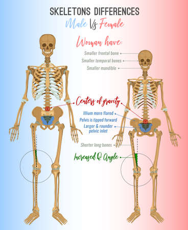 Skeleton differences poster. Male in comparison with female. Major gender nuances. Vector illustration isolated on a light background. Vettoriali
