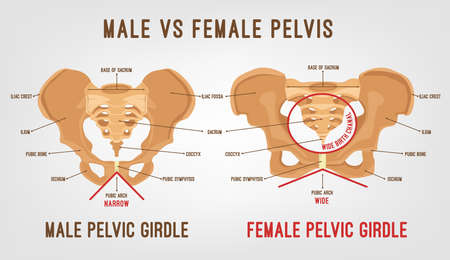 Male vs female pelvis main differences. Detailed vector illustration isolated on a light grey background. Medical and anatomical concept. Vettoriali