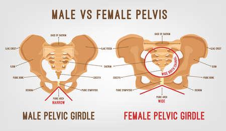 Główne różnice w miednicy męskiej i żeńskiej. Szczegółowa ilustracja wektorowa na białym tle na jasnoszarym tle. Koncepcja medyczna i anatomiczna. Ilustracje wektorowe