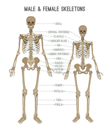 Skeleton differences poster. Male in comparison with female. Major gender nuances. Vector illustration isolated on white background.